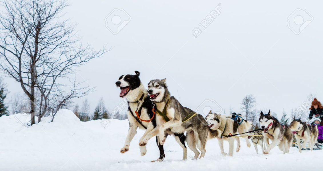 18233847-close-up-of-a-sled-dog-team-in-action-